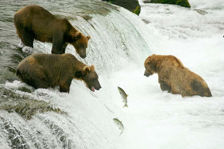 Grizzly Bears Fishing for Salmon, Brooks Falls, Katmai National Park and Preserve, Alaska