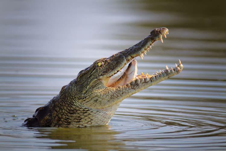 Crocodile Bungee