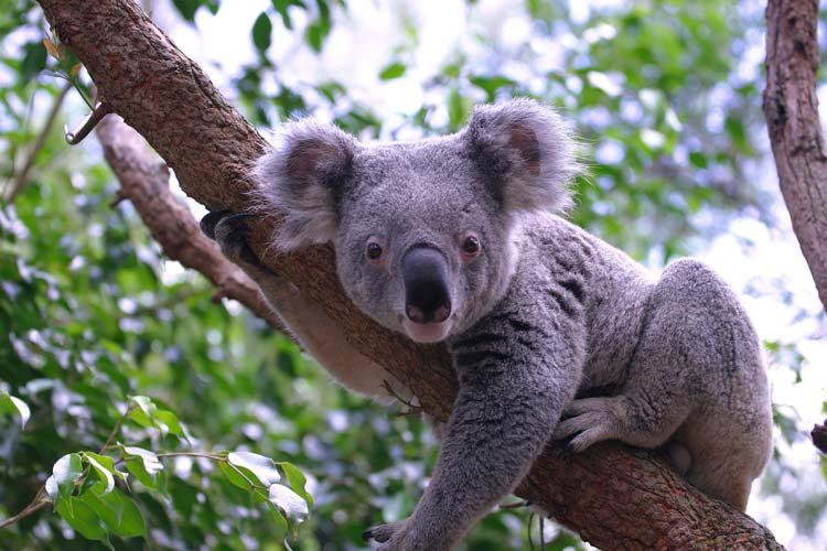Lone Pine Koala Sanctuary in Brisbane, Queensland, Australia