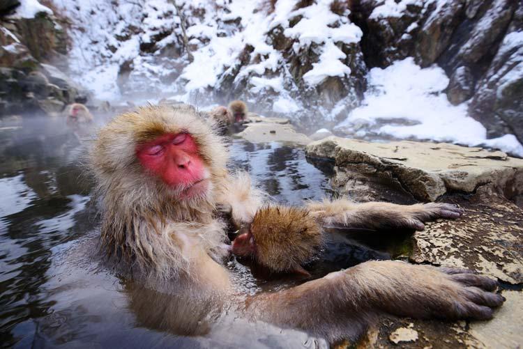 Monkeys in Hotspring in Shibu Onsen, Japan