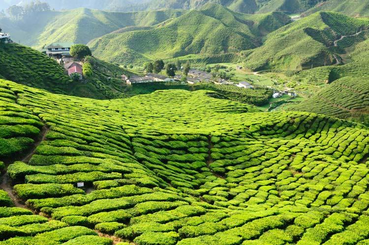 Cameron Highlands Tea Planation in Malaysia