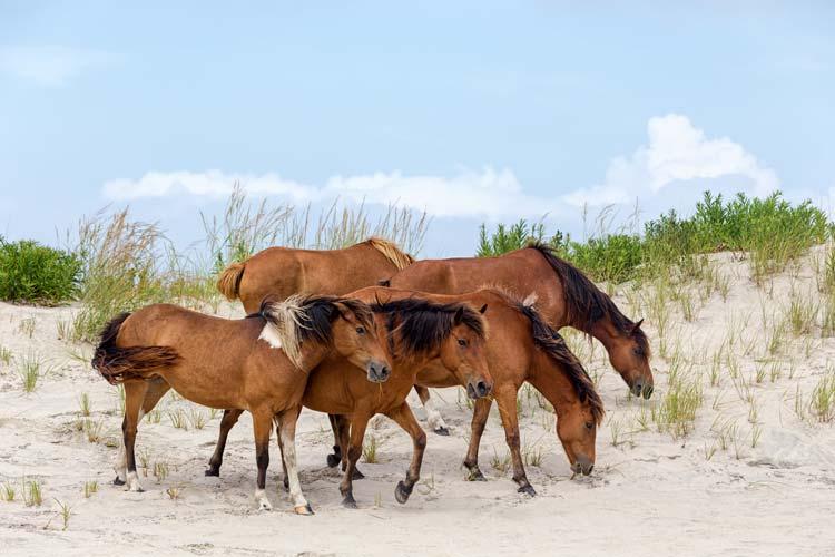 Chincoteague ponies aka the Assateague Horse
