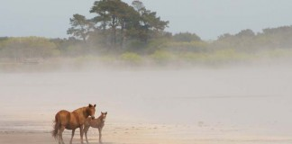 Come See the Annual Pony Swim at Chincoteague Island