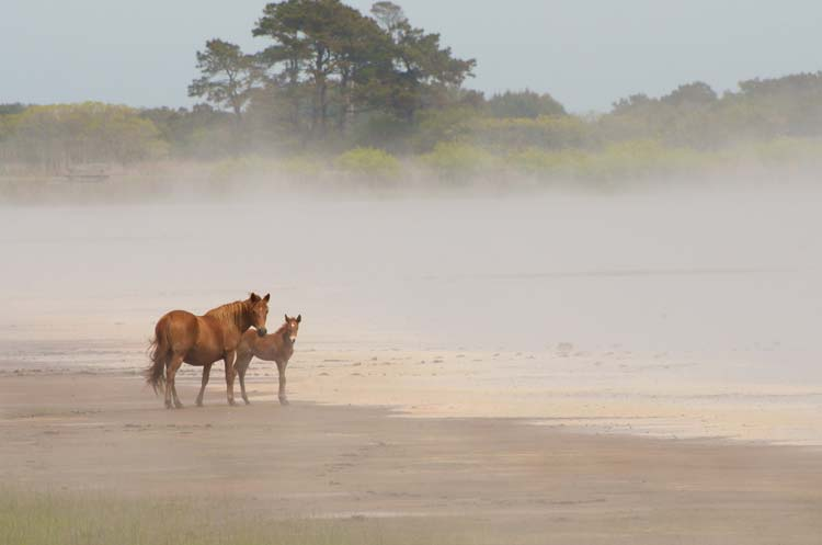 Chincoteague Ponies Swim Between Islands