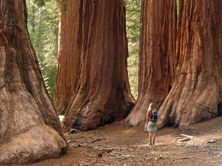 Experience the Giant Sequoia Trees