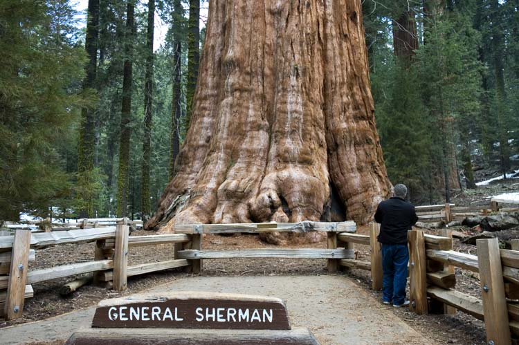 Giant Sequoia Trees Tower Above All