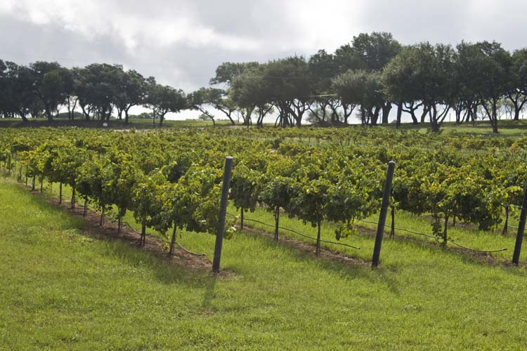 Texas Hill Country Vineyard