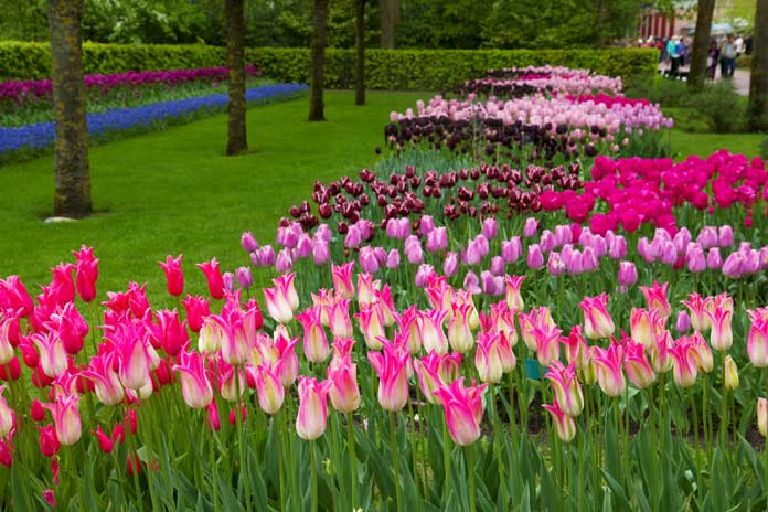 A garden with millions of tulips
