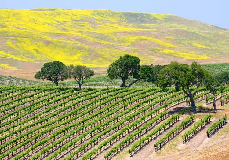 vineyard santa barbara