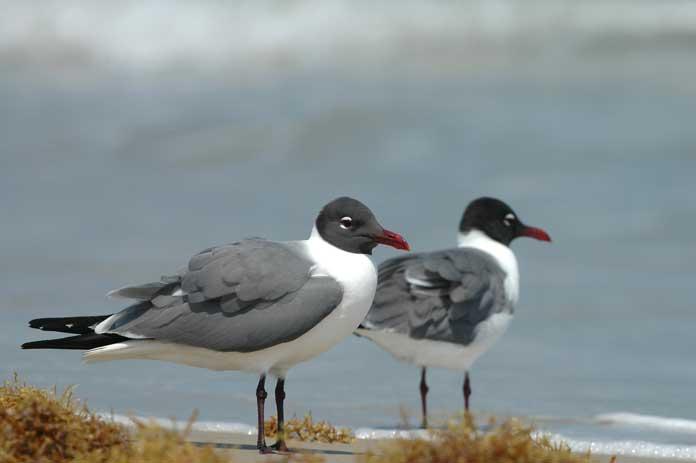 Padre Island Birds