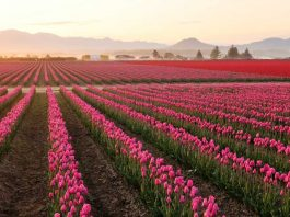Morning in Skagit Valley