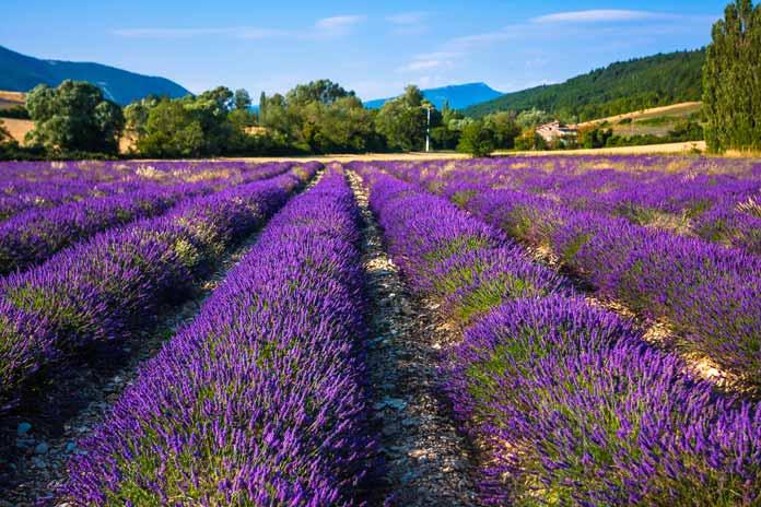Provence Lavender Fields